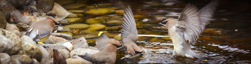 cedar waxwings splash in a puddle
