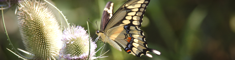 swallowtail on flower
