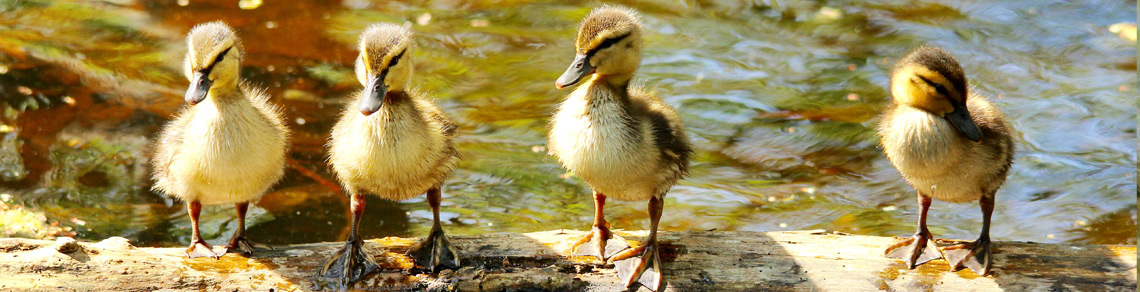 a photo of Ducklings ona log,  Photo by Brenda Doherty.