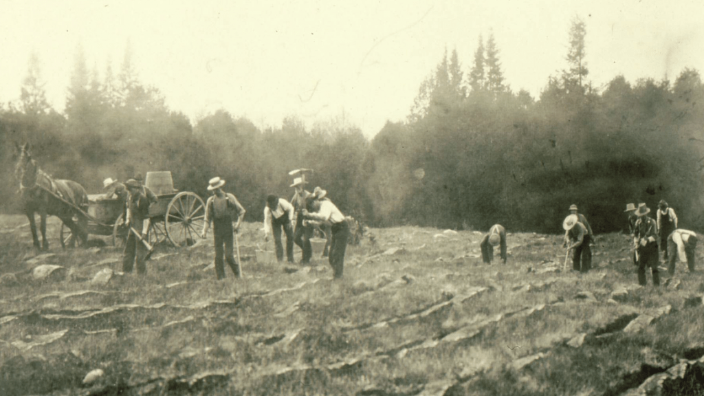 A group of men planting the Zavitz Pines using pickaxes in 1907