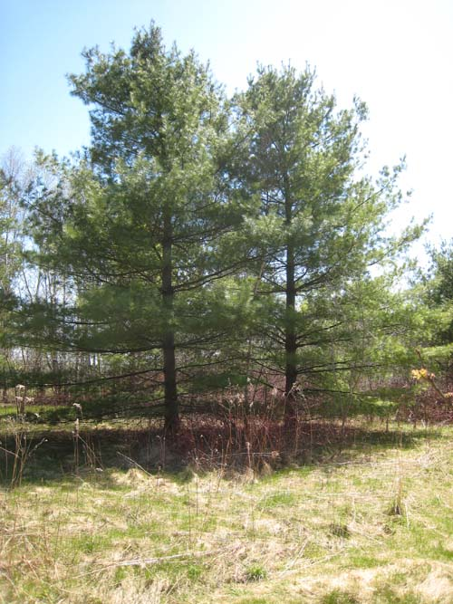Young Eastern White Pines.