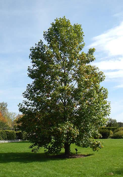 Tulip Tree Liriodendron Tulipifera The Arboretum