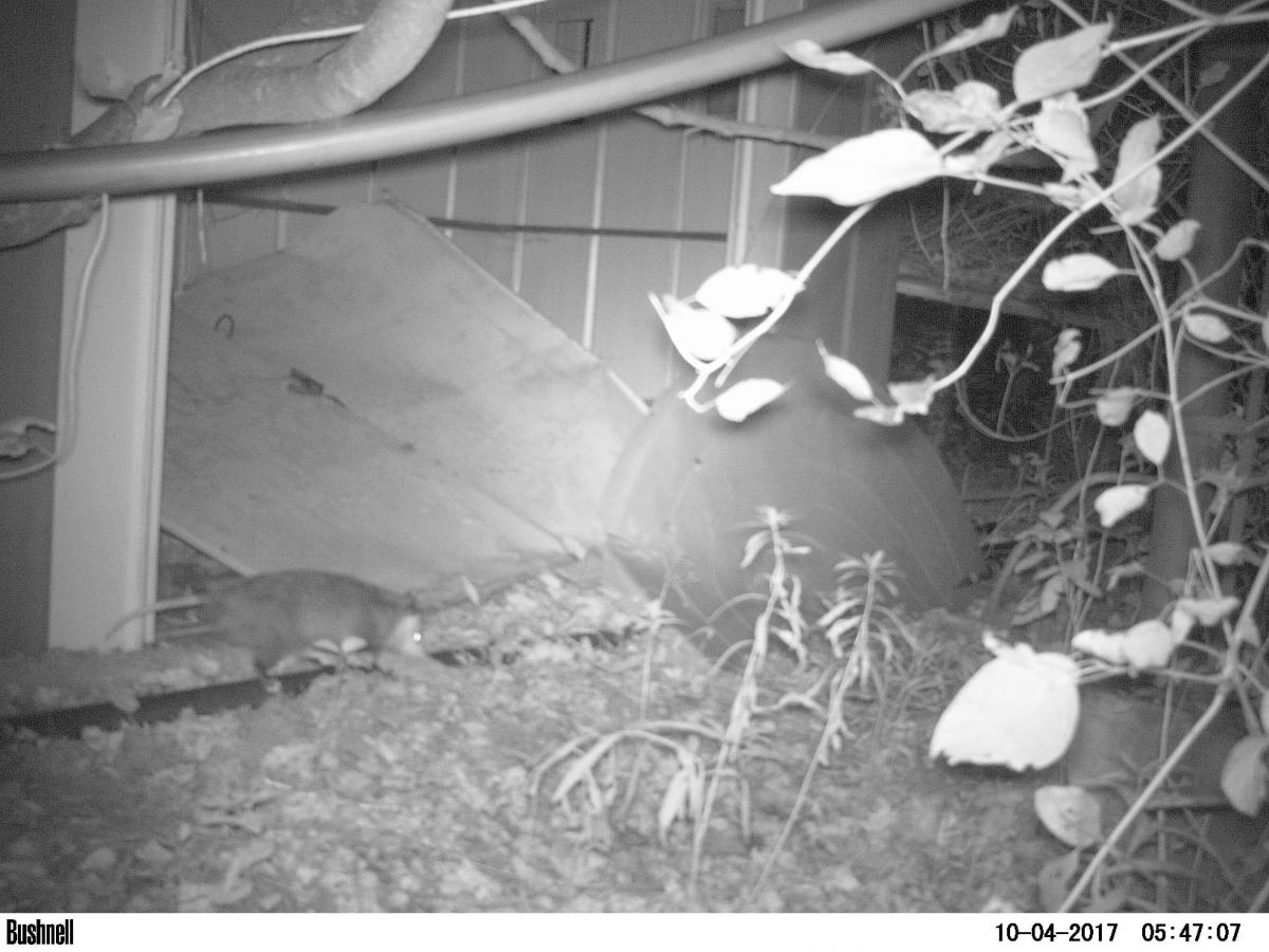Camera trap image of racoon latrine