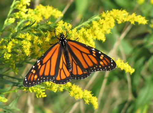 This Goldenrod has attracted a Monarch with its nectar.