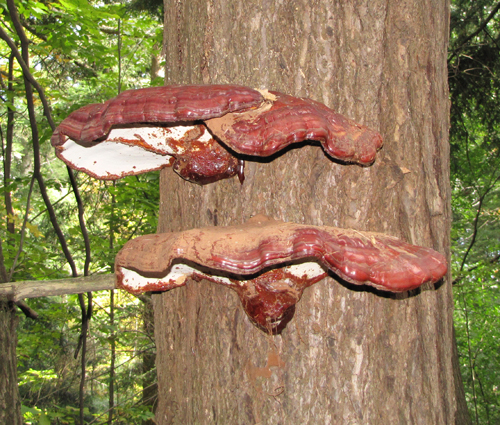 Hemlock Varnish Shelf (Ganoderma tsugae).