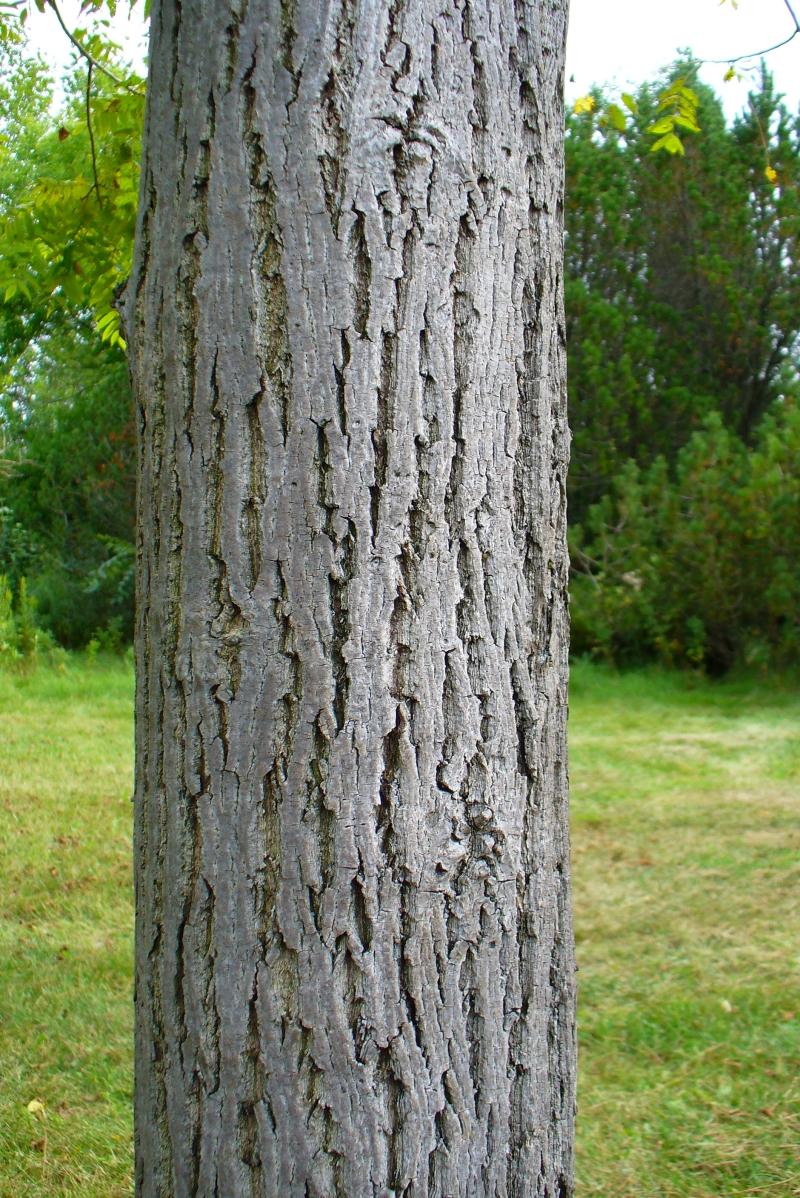 Butternut (Juglans cinerea) | The Arboretum