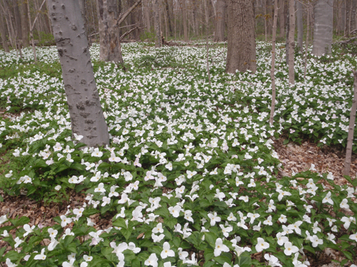 Victoria Woods in early May is alive with White Trillium blooms.