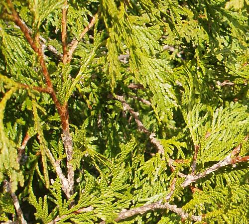 Northern White Cedar ~ Northern white cedar thuja occidentalis the arboretum