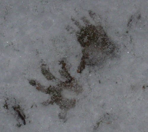 Virginia Opossum tracks