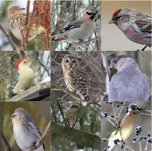 winter birds Quiz