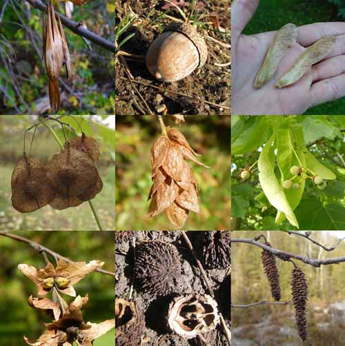 tree seeds Quiz