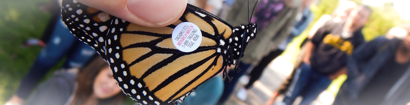 monarch butterfly marked for identification after release