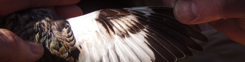 person examining bird wing