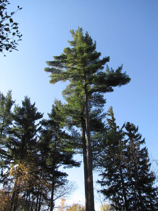 An upward view of one of The Arboretum's Century Pines.