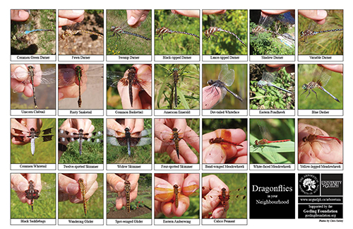 Selection of various dragonflies