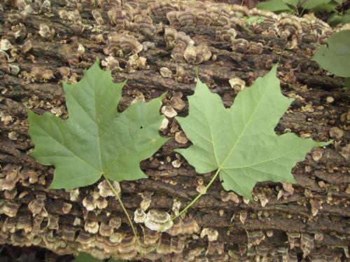 Sugar Maple Acer Saccharum Var Saccharum The Arboretum