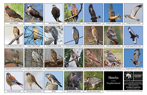 a selection of hawks and falcons