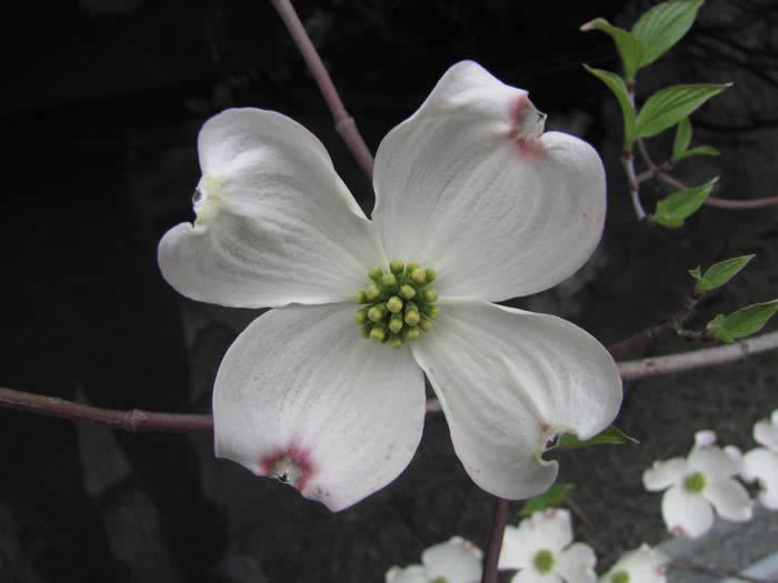 Eastern Flowering Dogwood Cornus Florida The Arboretum