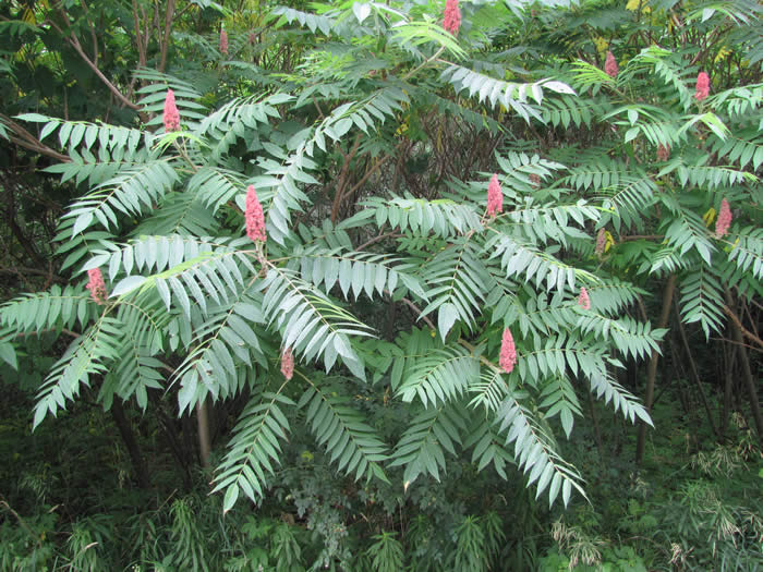 Staghorn Sumac Trees