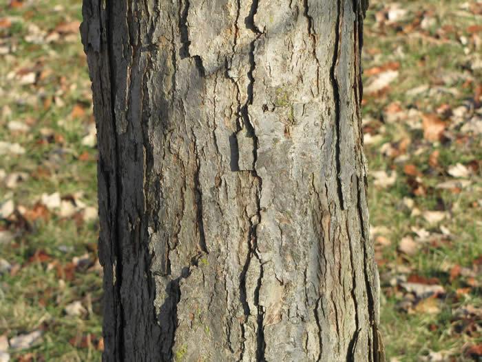 Swamp white oak quercus bicolor the arboretum
