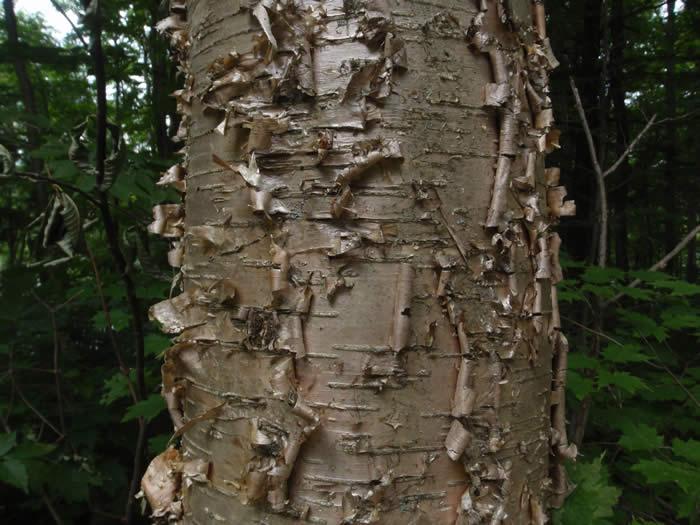 7af3ed8036e Yellow Birch - Betula alleghaniensis