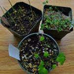 young plants in pots