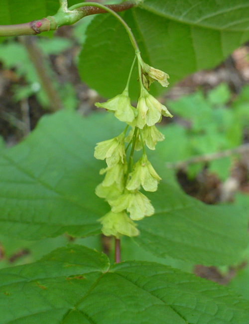 Striped Maple Flowers