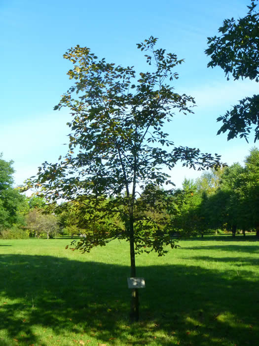 Pignut Hickory Tree