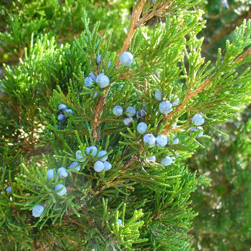 Red Cedar Juniper ~ Eastern red cedar juniper virginiana the arboretum