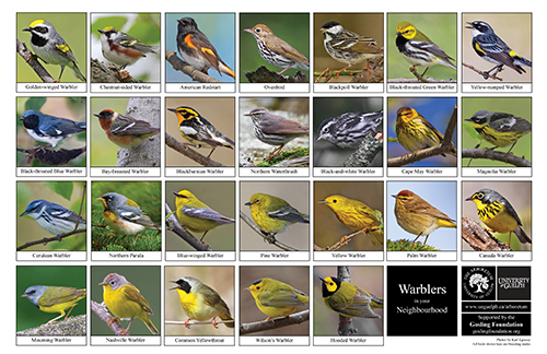 a selection of warblers