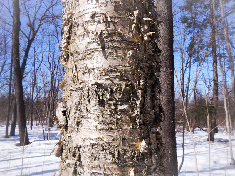 yellow birch